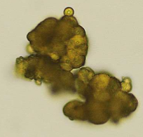 urine-crystals-from-a-dog-figure-1a-1506